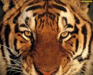 Tigers 21